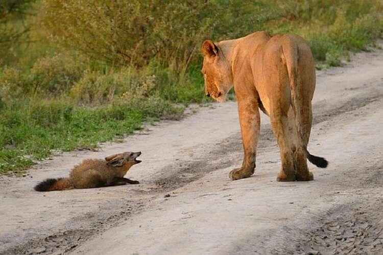 Львица защитила раненого лисенка от льва