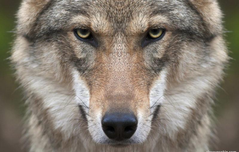 Волк помог леснику найти свою половину: ведь когда то он помог волку